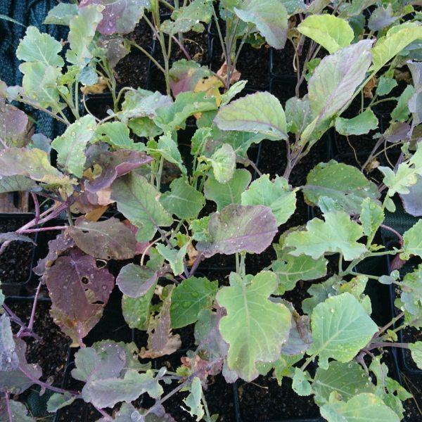 Chou purple tree